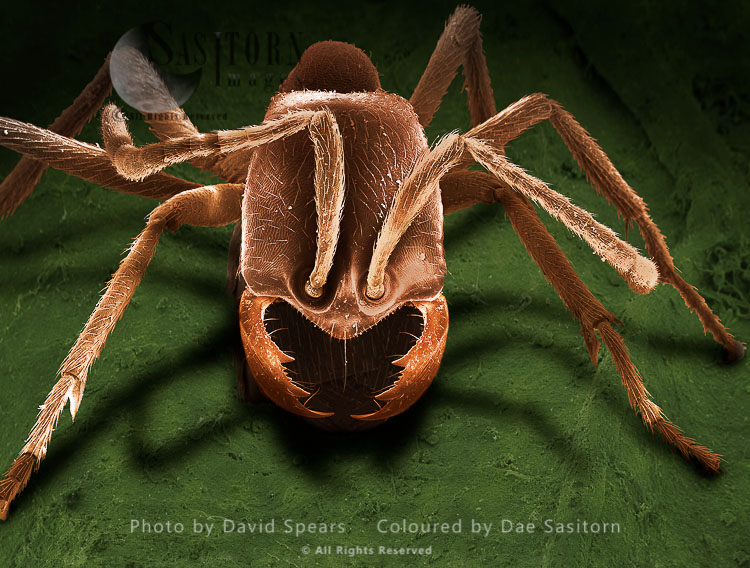 SEM: Driver Ant, Dorylus Sp.; Magnification X 100 At A4 Print Size