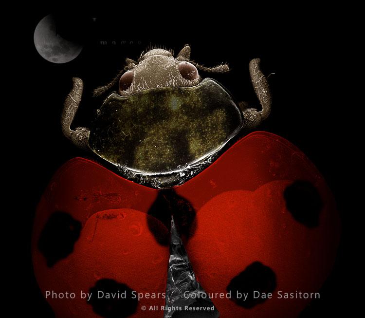 SEM: Seven-Spot Ladybird, Coccinella Septempunctata; Magnification X 35 At A4 Print Size