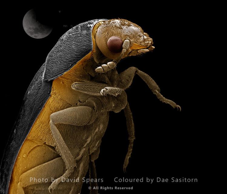 SEM: Leather Or Hide Beetle, Dermestes Maculatus ; Magnification X 40 At A4 Print Size