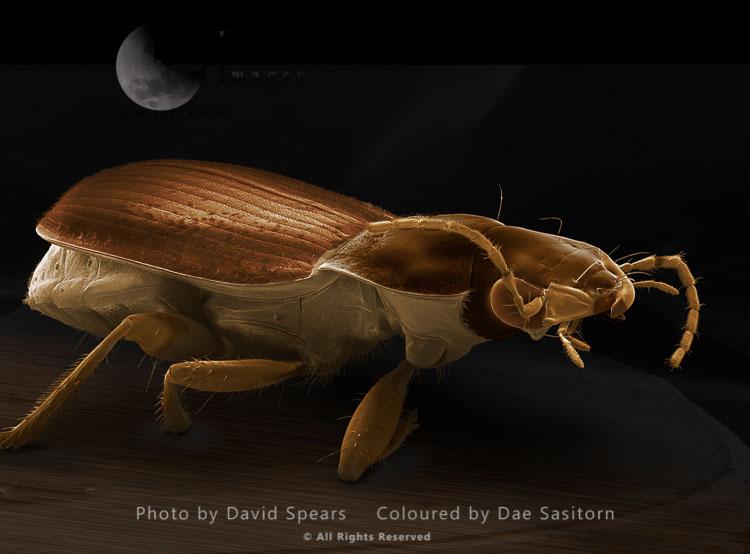 SEM: Ground Beetle, Agonum Sp.; Magnification X 20 At A4 Print Size