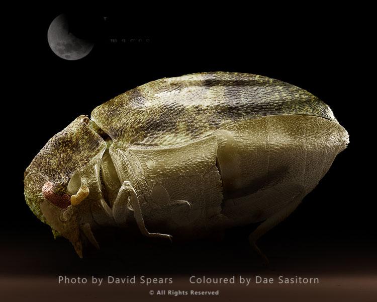 SEM: Varied Carpet Beetle, Anthrenus Verbasci; Magnification X 90 At A4 Print Size