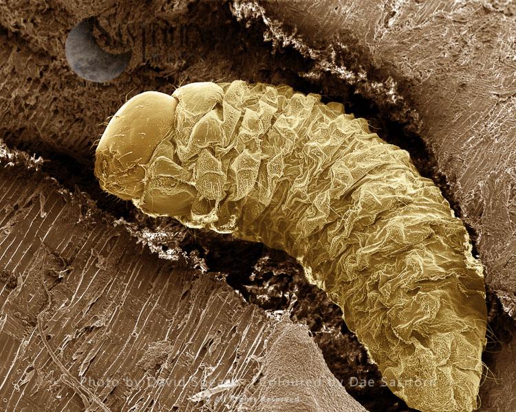 SEM: Lavae Of Woodworm Or Furniture Beetle, Anobium Punctatum; Magnification X 100 At A4 Print Size