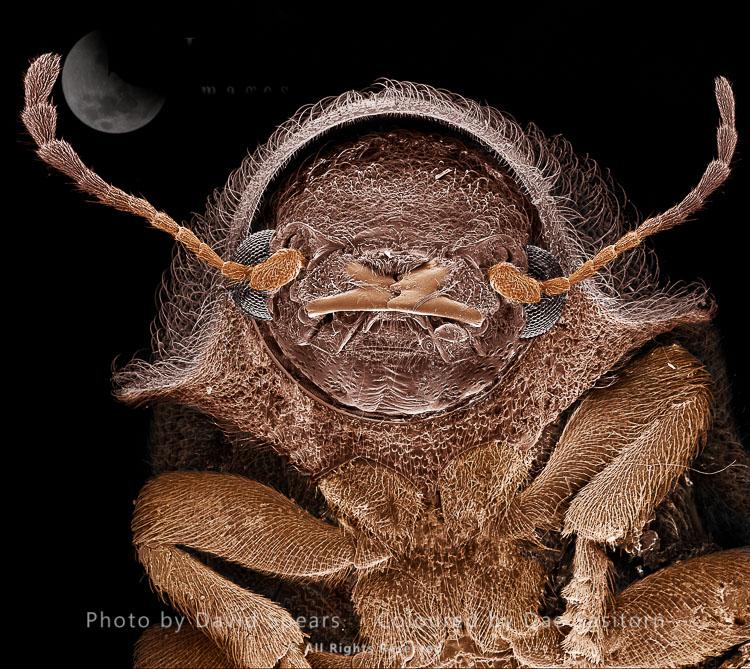 SEM: Deathwatch Beetle, Xestobium Villosum; Magnification X 75 At A4 Print Size