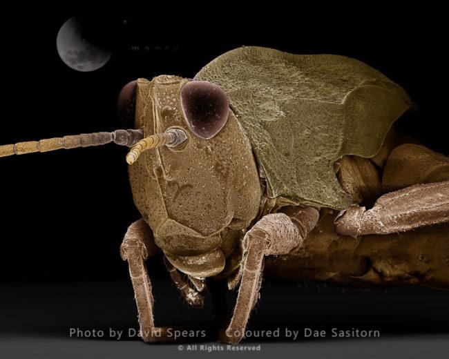 Common Field Grasshopper