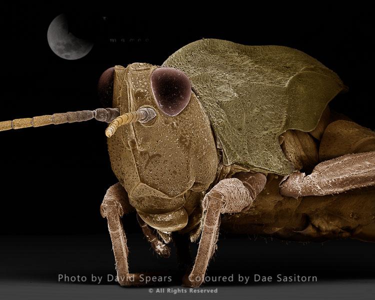 SEM: Common Field Grasshopper, Chorthippus Brunneus; Magnification X 55 At A4 Print Size