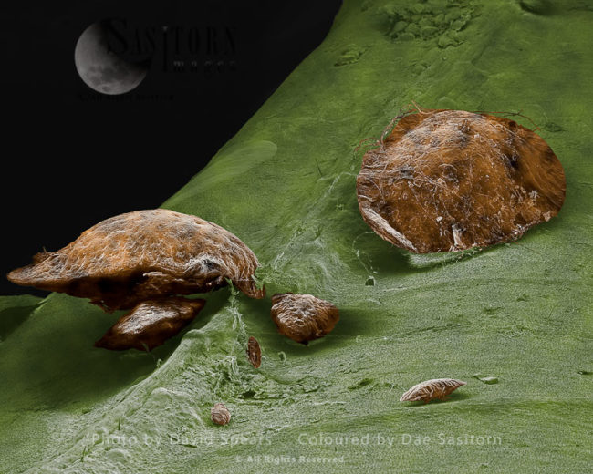 Brown Scale Insect