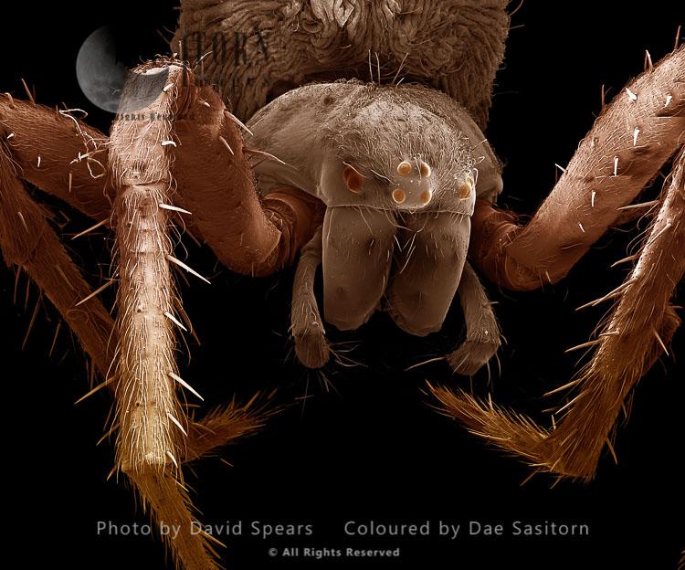 SEM: Garden Spider-female, Araneus Diadematus