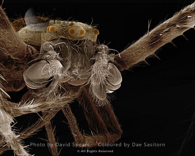 SEM: Garden Spider-male, Araneus Diadematus