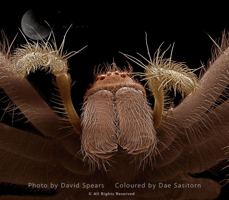 SEM: Common House Spider – Female, Tegenaria Domestica