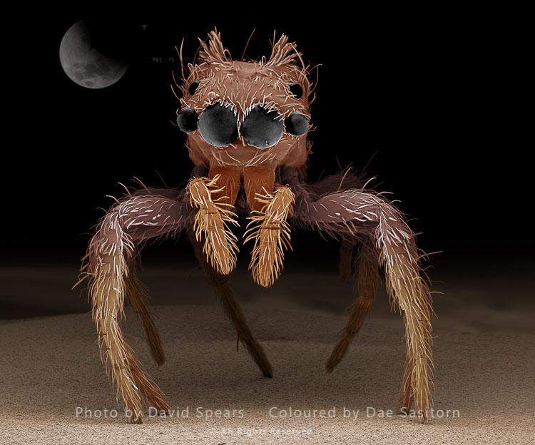 SEM: Jumping Spider, Portia Sp.