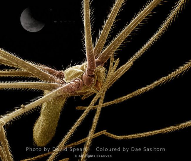 Pholcus Spider - Female