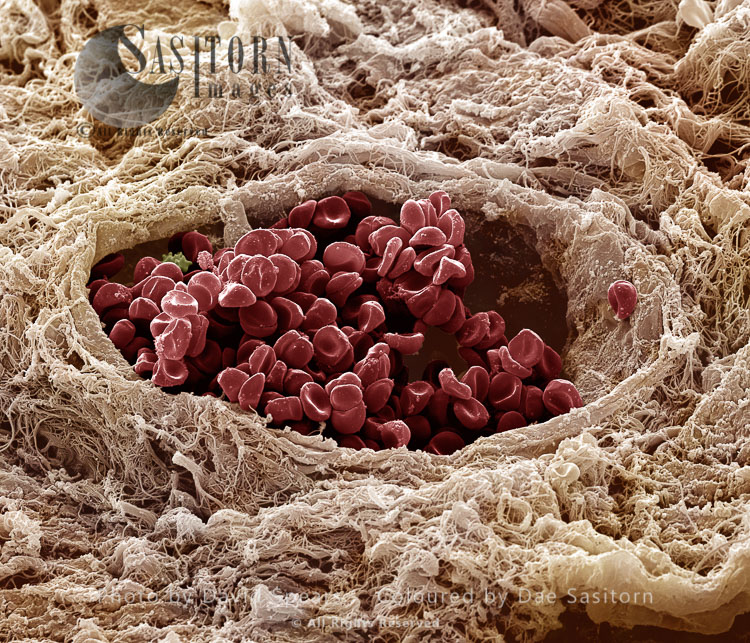 Human Vein Showing Red Blood Cells
