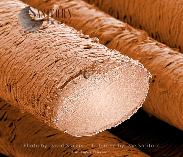 Human Hairs - European