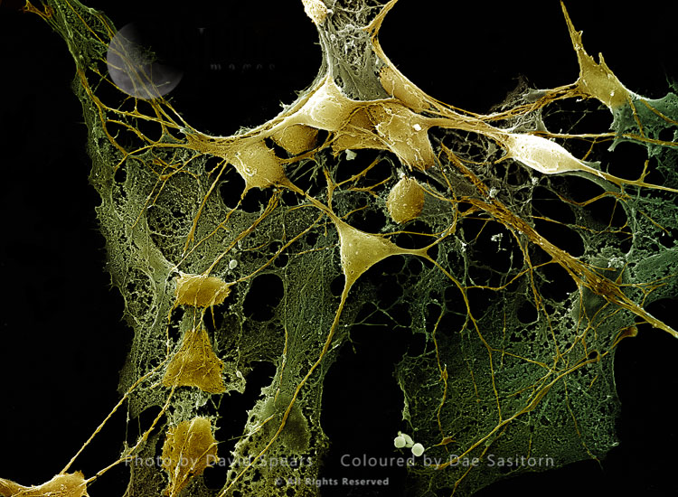 Nerve Cells Grown In A Culture
