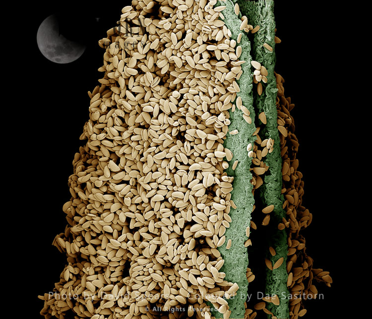 Scanning Electron Micrograph (SEM): Anther Of A Lily With Pollen,  Lilium Sp