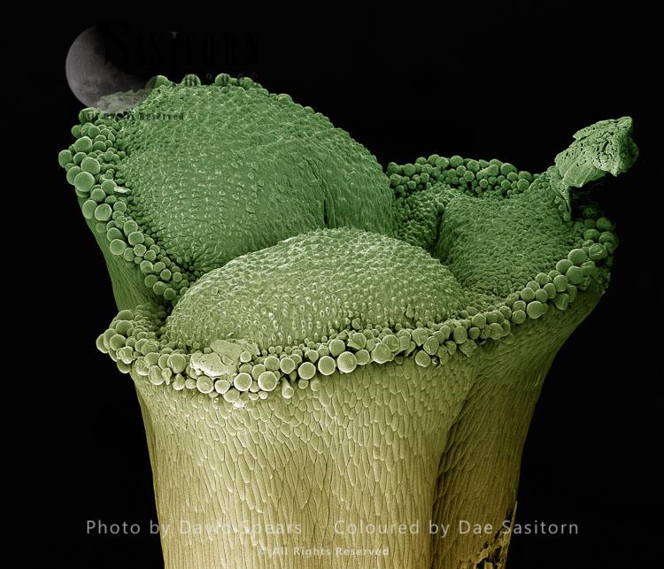 Scanning Electron Micrograph (SEM): Stigma Of A Lily,  Lilium Sp.