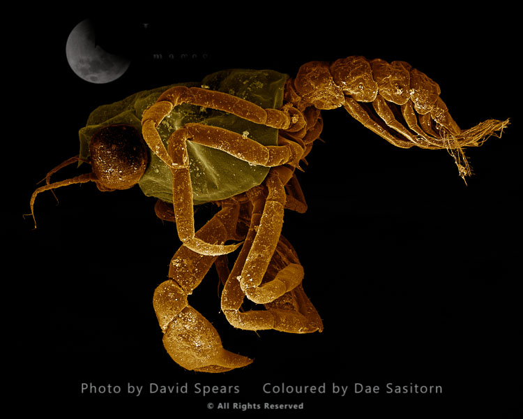 SEM: Crab Megalops – Megalopa Stage Of Crustaceans; Magnification X 80 At A4 Print Size