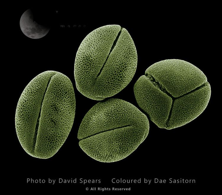 Scanning Electron Micrograph (SEM): Peony Pollen