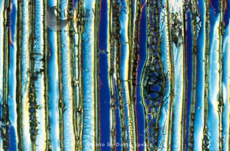 Light Micrograph (LM): Longitudinal Section Showing Xylem Elements Of Scots Pine Wood, (Pinus Sylvestris)