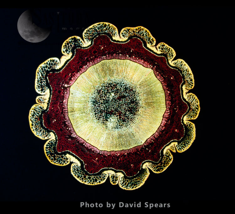 Light Micrograph: The Transverse Section Of A Stem Of Norway Pine (Abies Excelsa) Shows The Resin Passages