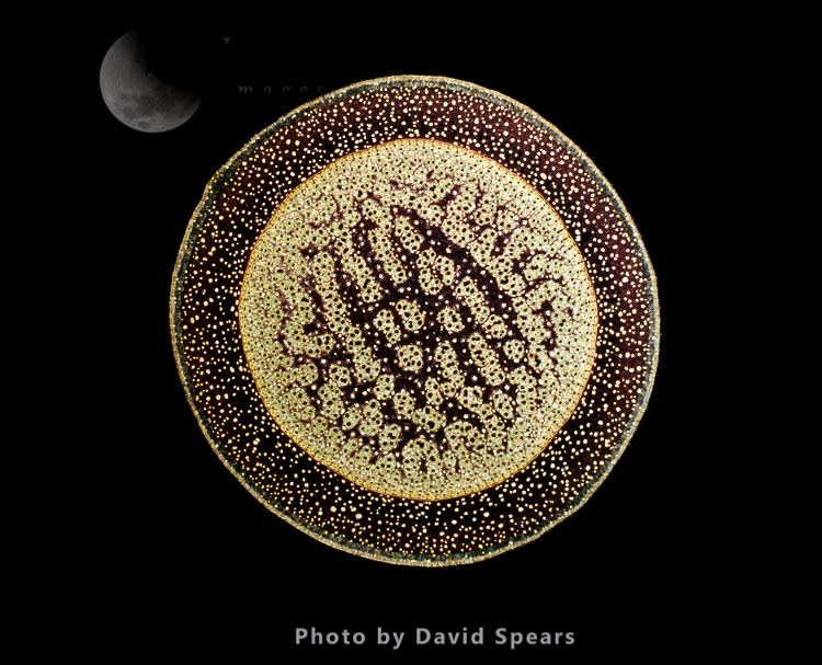 Light Micrograph: A Transverse Section Of An Aerial Root From A Pandanus Sp