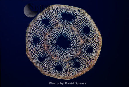 Light Micrograph (LM): A Transverse Section Of A Stem Of A Horsetail Fern (Equisetum Sp.)