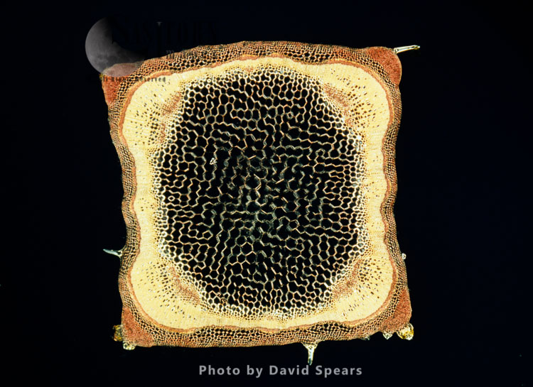 Light Micrograph: A Transverse Section Of A Stem Of A Hedge Woundwort Plant (Stachys Sylvatica)