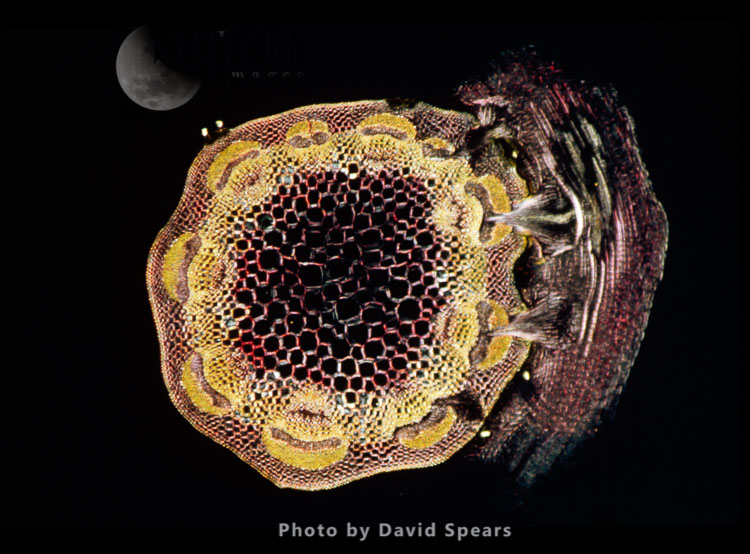Light Micrograph: A Transverse Section Of A Stem Of Clover (Trifolium Sp.) With An Unidentified Parasite Attached.