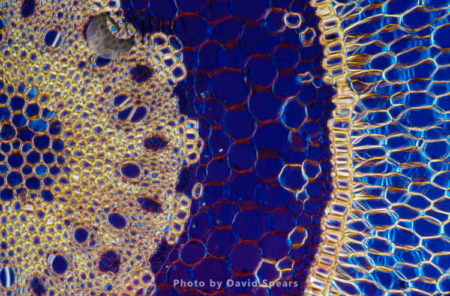 Light Micrograph (LM): A Transverse Section Of An Aerial Root Of Orchid (Dendrobium Sp.)