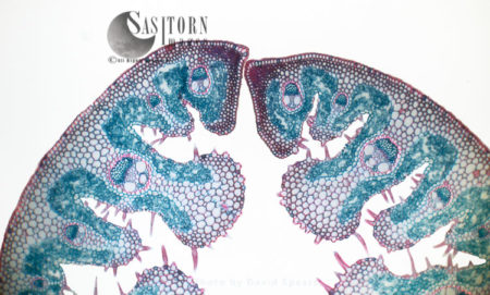 Light Micrograph (LM): Transverse Section Of A Leaf Of Marram Grass (Ammophila Sp.)