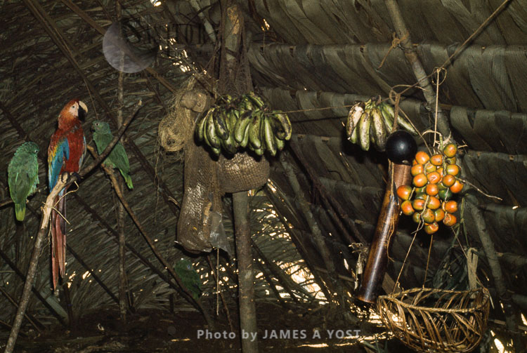 Waorani Indians: Platanos And Chonta Palm (g. Gasipaes) Are Principal Food Sources Jan – Mar, Tewaeno, 1973, Ecuador