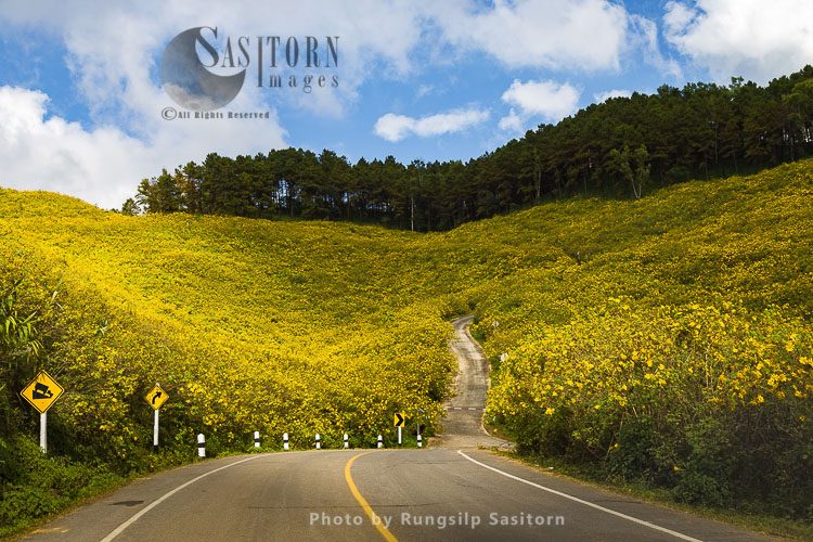 Mexican Sunflowers set to brighten the hills of Doi Mae U Kho , Mae Hong Son, Northern Thailand.