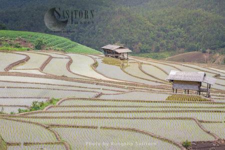 Terraced Rice Fields, Baan Pa Bong Piang, Chiang Mai, Thailand.