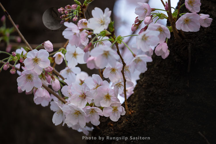 The Meguro River Cherry Blossoms Are The Most Famous Area In Tokyo, Near Shibuya.