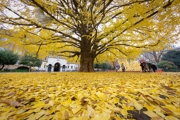 Beautiful Yellow Ginkgo Tree At University Of Tokyo In Autumn.