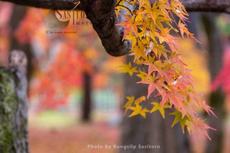 Autumn Leaves In Tofukuji Temple, Kyoto Japan.