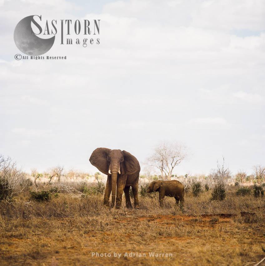 African Elephant (Loxodonta Africana), Elephant Cow And Calf,  Tsavo West, Kenya