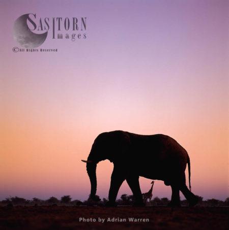 African Elephant (Loxodonta Africana), Elephant At Sunset, Etosha National Park, Namibia