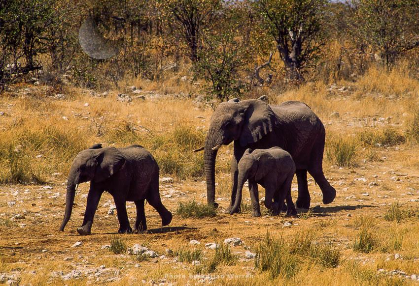 African Elephant (Loxodonta Africana), Elephant Cow And Two Calves Travelling, Etosha National Park, Namibia