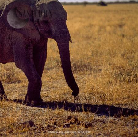 African Elephant (Loxodonta Africana), Elephant Calf, Etosha National Park, Namibia
