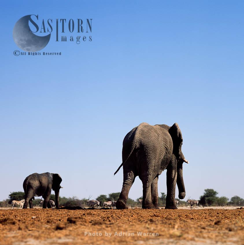 African Elephant (Loxodonta Africana), Elephant Cow And Calf, Etosha National Park, Namibia
