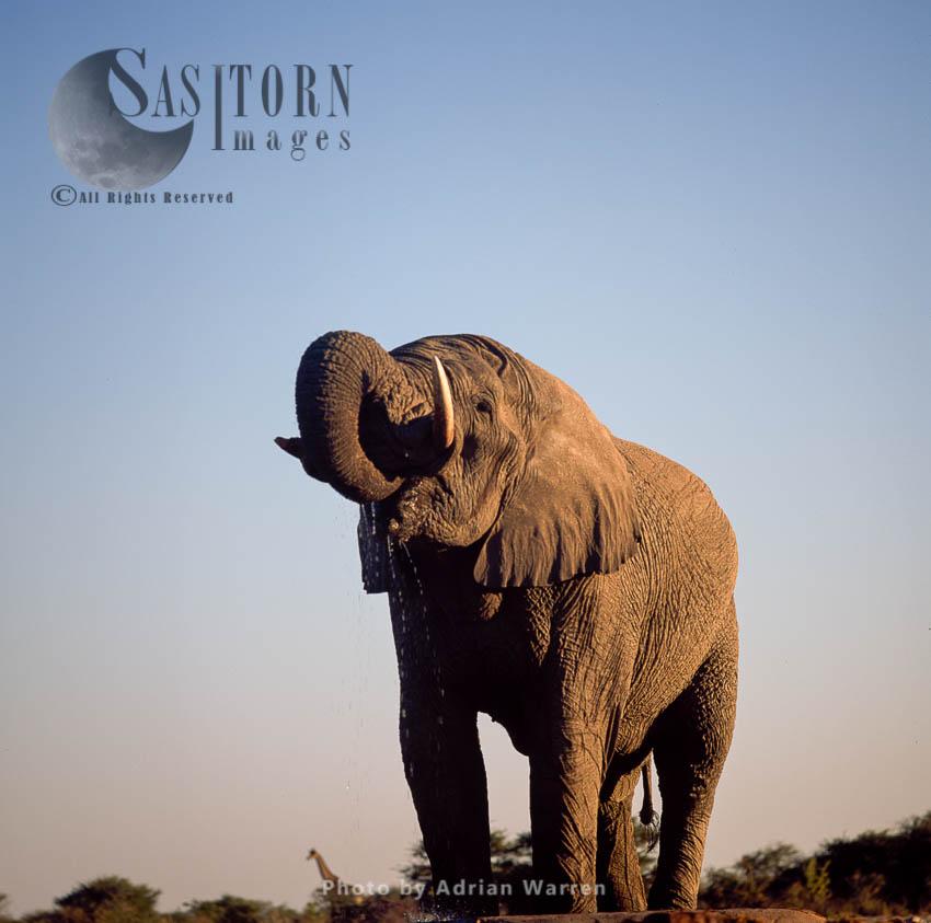 African Elephant (Loxodonta Africana), Drinking, Etosha National Park, Namibia