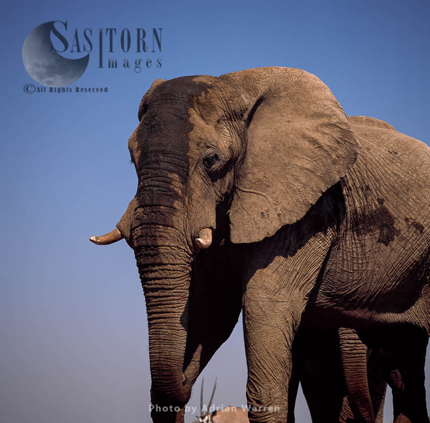African Elephant (Loxodonta Africana), Etosha National Park, Namibia