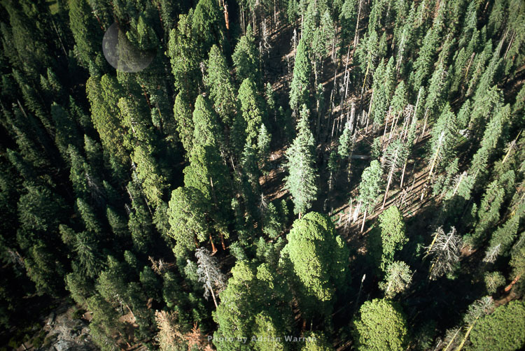 Aerial View Of Sequoia Forest, Sequoia National Park, California, USA