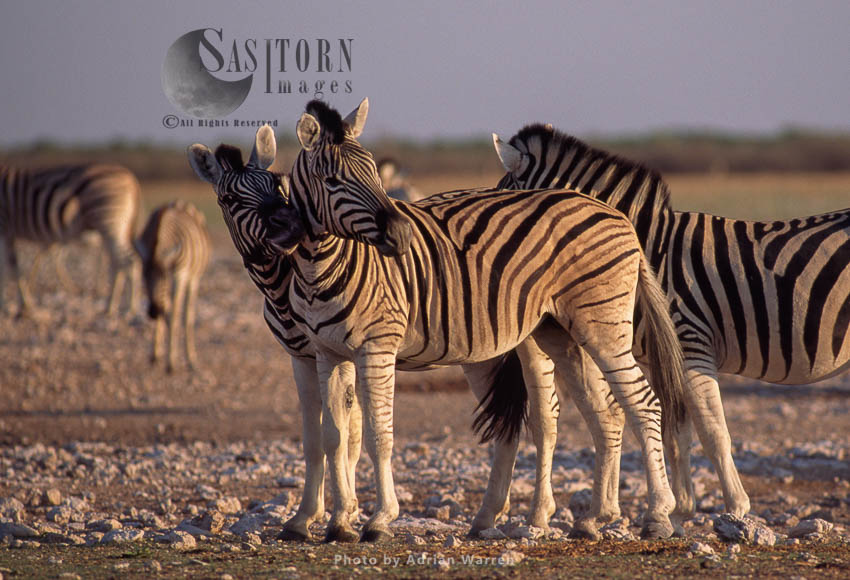 Burchell's Zebra (Equus Burchelli), Zebras Grooming, Etosha National Park, Namibia