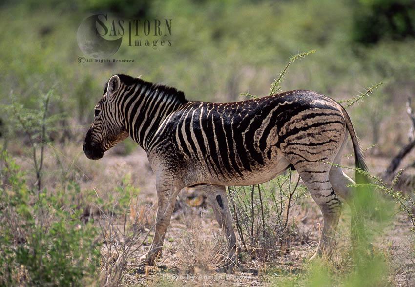 Burchell's Zebra (Equus Burchelli), Zebra With Odd Markings, Etosha National Park, Namibia