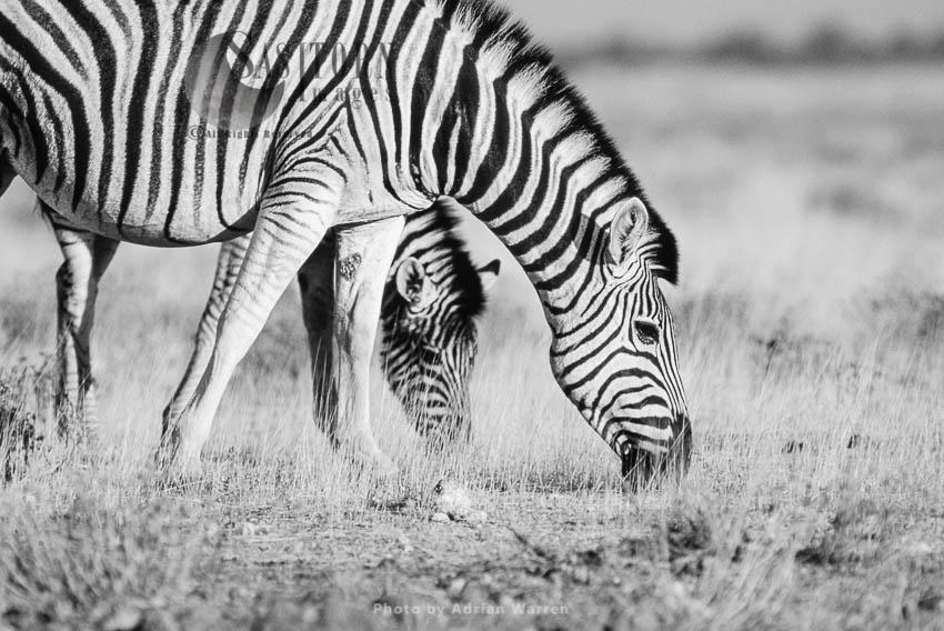 Burchell's Zebra (Equus Burchelli), Grazing, Etosha National Park, Namibia