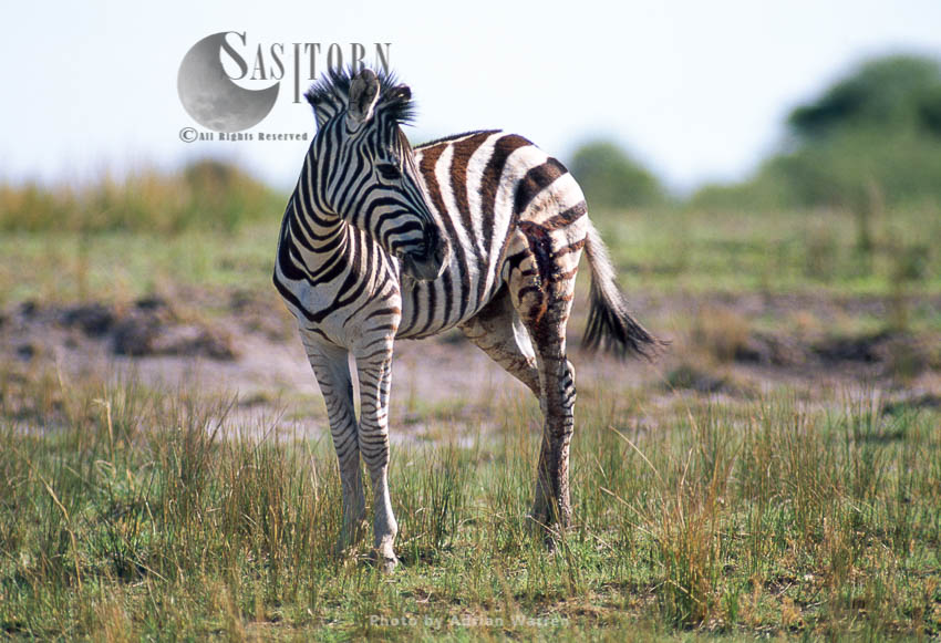 Burchell's Zebra (Equus Burchelli), Foal With Leg Injury, Etosha National Park, Namibia