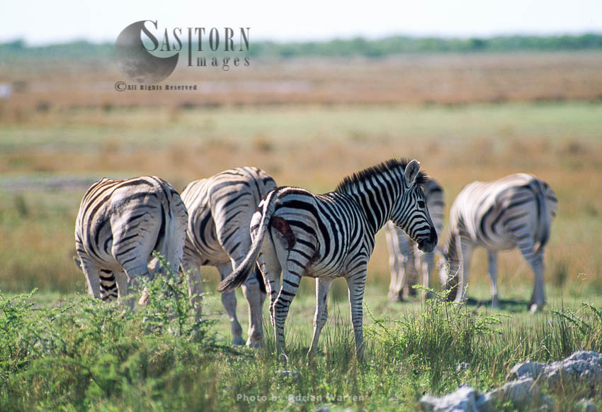Burchell's Zebra (Equus Burchelli), Foal With Injury, Etosha National Park, Namibia