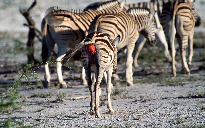 Burchell's Zebra (Equus Burchelli), A Foal With Injury, Etosha National Park, Namibia